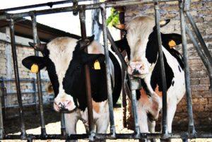 Vacche Ageroline 2